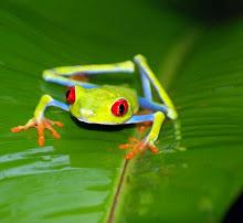 Rã do Olho Vermelho/Costa Rica