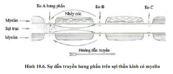 Dẫn truyền hưng phấn trên sợi thần kinh có bao myelin