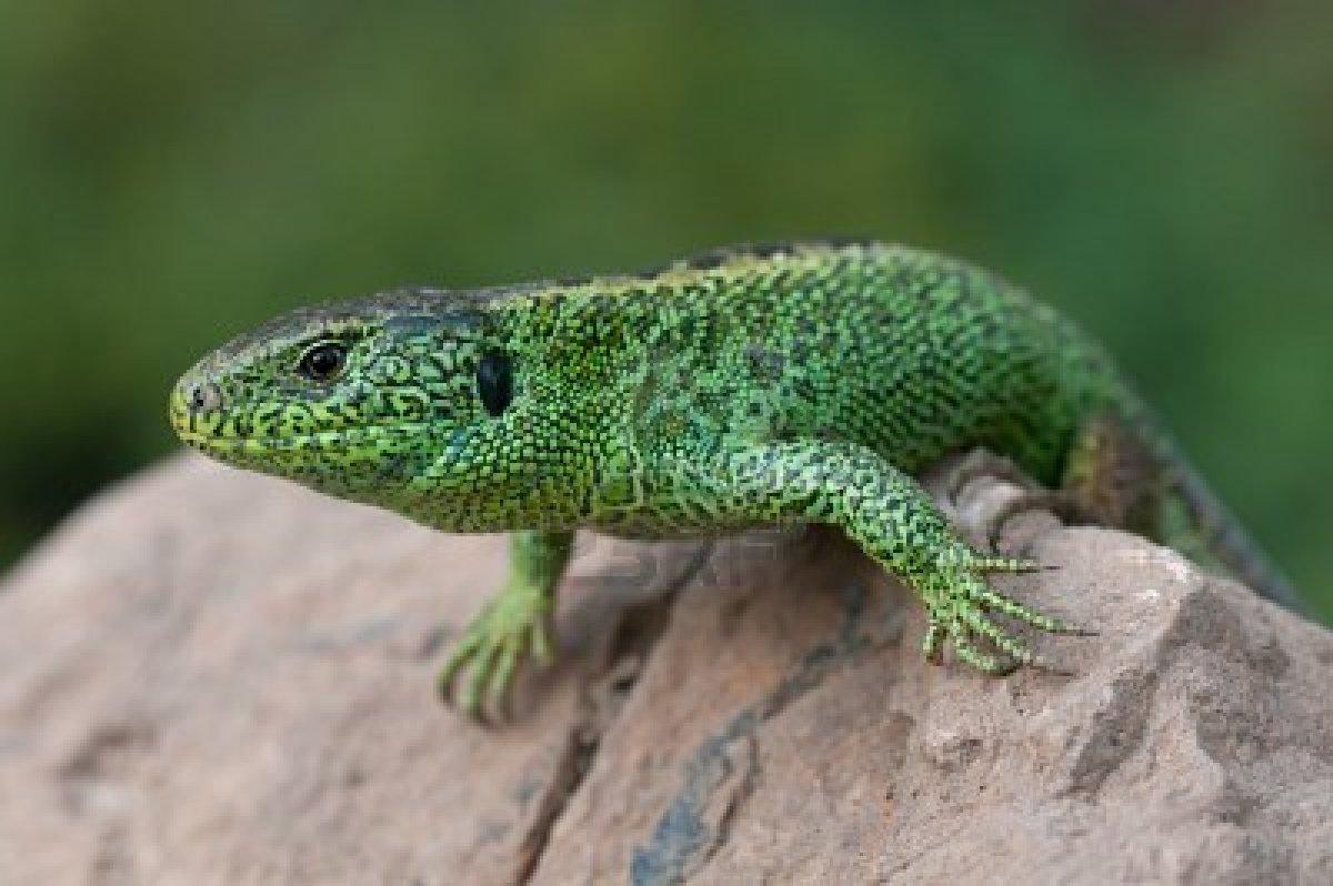 animal sand lizard the...