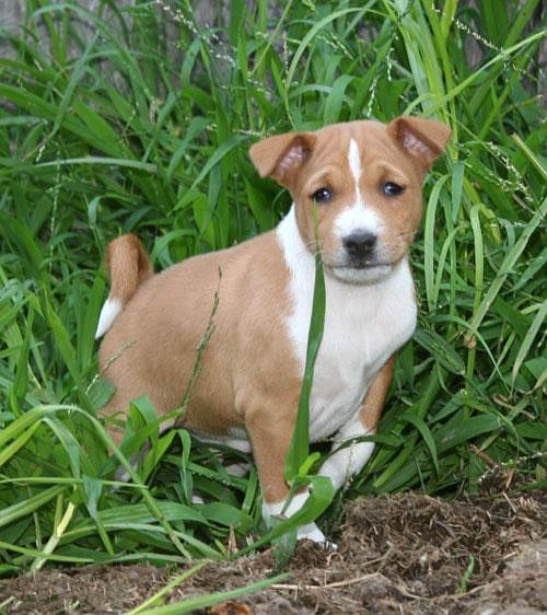 Basenji Puppies Pictures