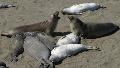 Sø-elefant koloni ved San Simeon, Californien, USA