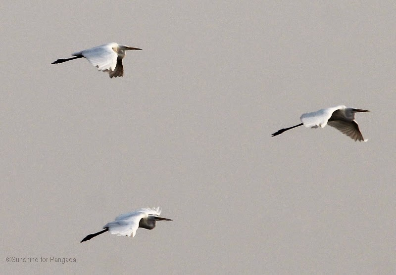 Flying Great Egrets