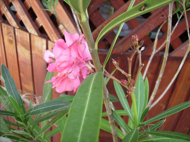 """N. oleander is either native or naturalized to a broad area from Mauritania, Morocco, and Portugal eastward through the Mediterranean region and the Sahara (where it is only found sporadically), to the Arabian peninsula, southern Asia, and as far East as Yunnan in southern parts of China. It typically occurs around dry stream beds. Nerium oleander is planted in many subtropical and tropical areas of the world. On the East Coast of the US, it grows as far north as Washington DC, while in California and Texas it is naturalized as a median strip planting.[citation needed] In Sri Lanka this plant is called Kaneru කණේරු, grown as an ornamental in gardens."" click on the link above to read more on Wikipedia."