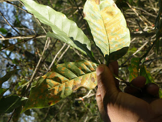Coffee Rust on leaves