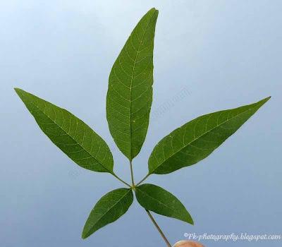 Vitex negundo leaf