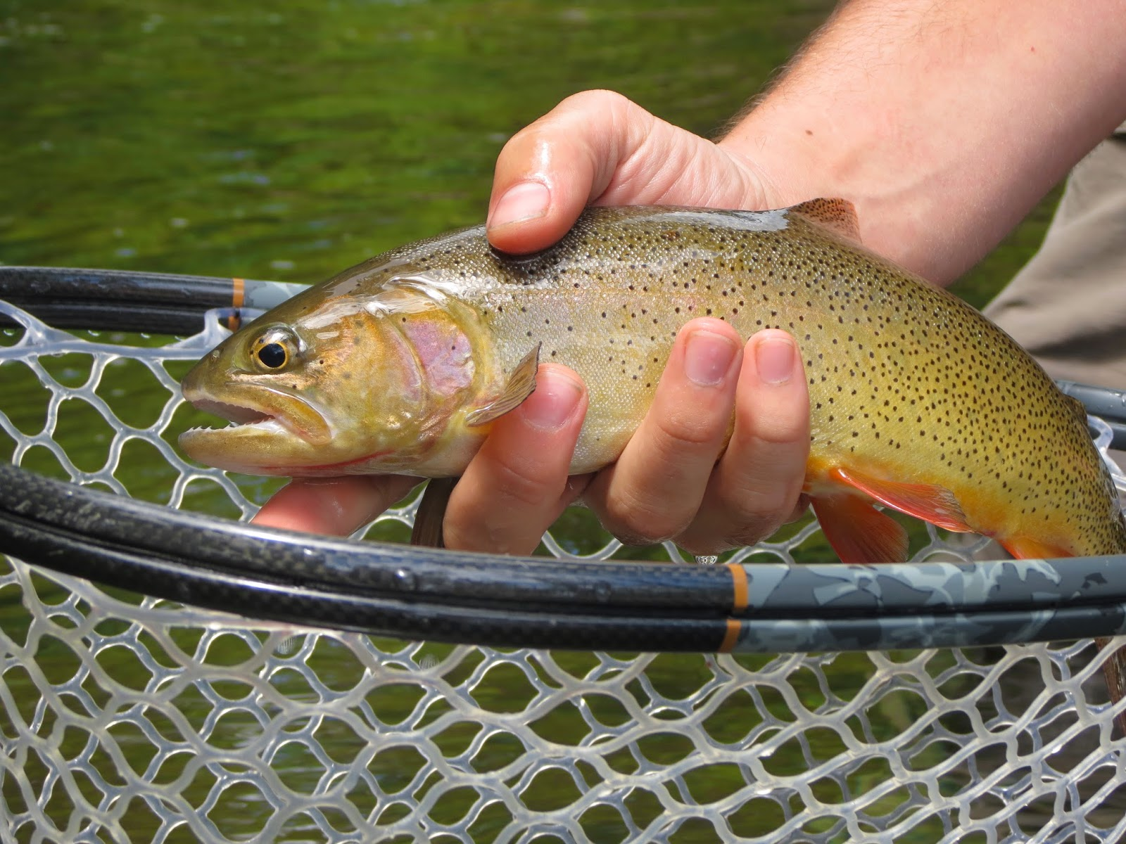 This river is wild the maryland unicorn for Trout fishing maryland