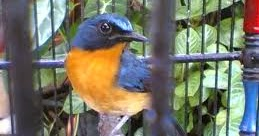 Cara Merawat Burung Tledekan agar Gacor dan Rajin Bunyi