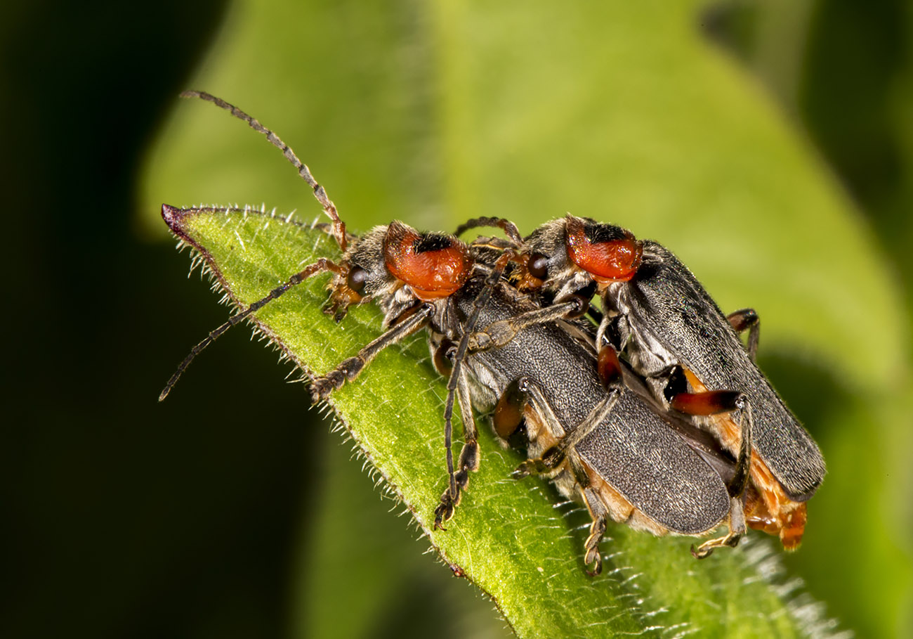 Cantharis Rustica, mating pair.  High Elms Country Park, 15 May 2014.