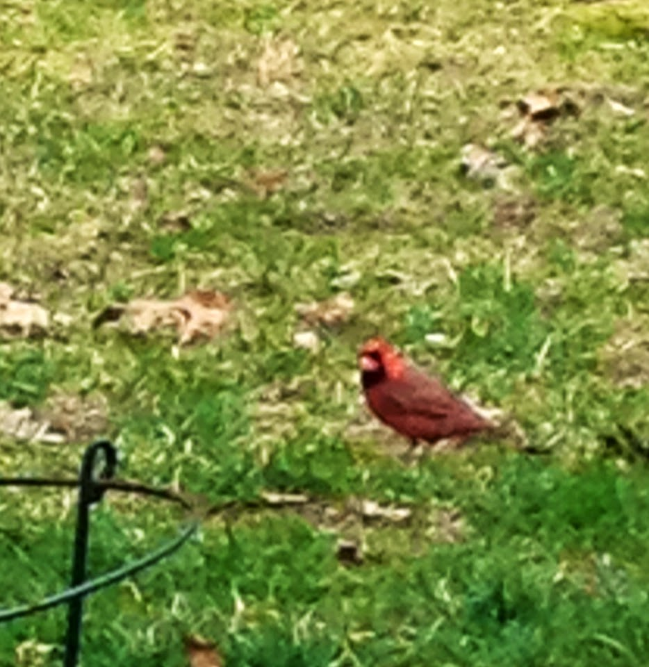Image its a comforting feeling for me to see a cardinal i am a true believer and find buycottarizona Images