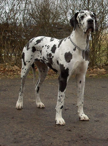 El Toro World: Great Dane Kaiser