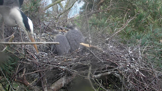 Adult heron feeding chicks