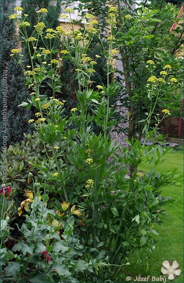Levisticum officinale - Lubczyk ogrodowy
