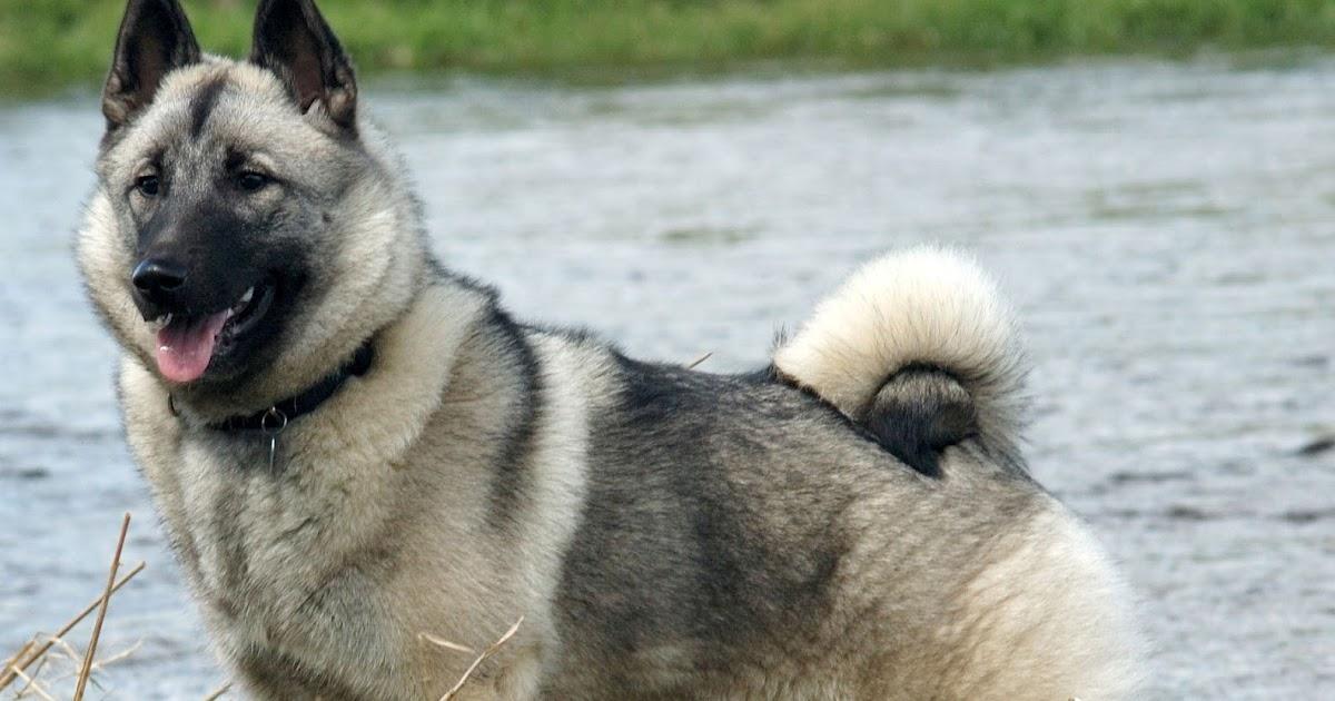 About Dog Norwegian El...