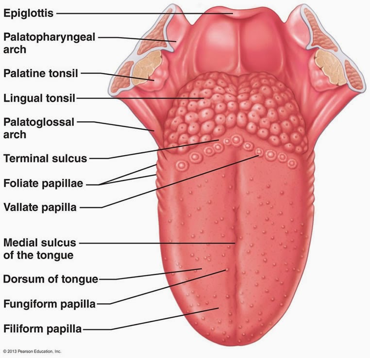 tongue diagram anatomy picture reference and health news : tongue diagram - findchart.co