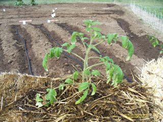 growing plants in hay bales tomato plant in a straw bale any time you plant