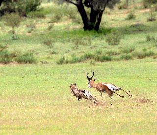 Foto Cheetah Memburu Kijang
