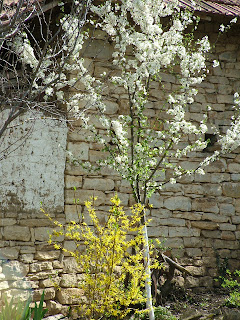 Forsythia and Plum Blossom, Bulgaria