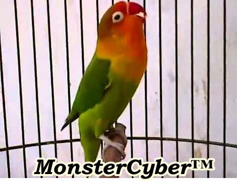 http://monstercyber135.blogspot.com/2014/10/cara-merawat-burung-lovebird-agar-gacor.html