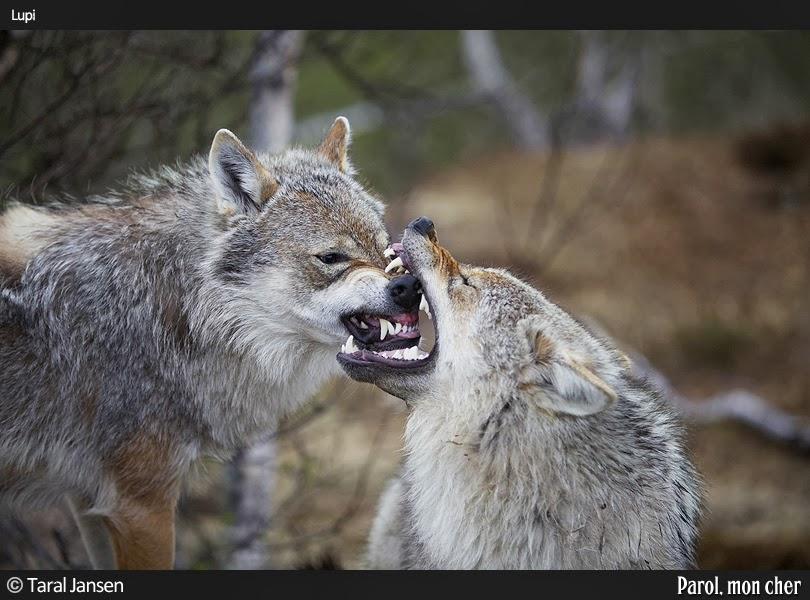 Jocuri cu lupi