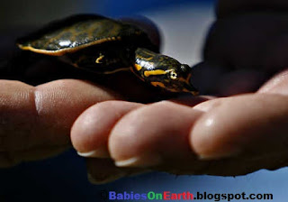 Baby Florida Softshell Turtle