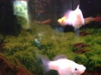 Balloon Mollies For Sale2