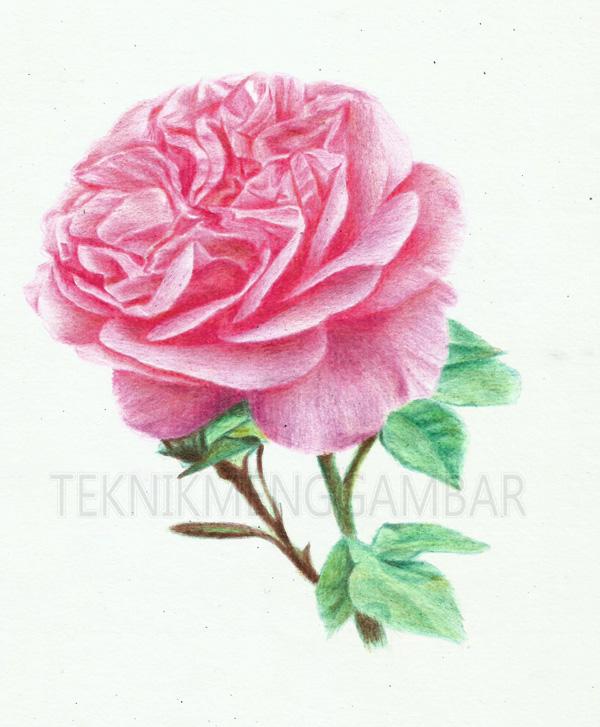 Menggambar Bunga Mawar Dengan Pensil Warna