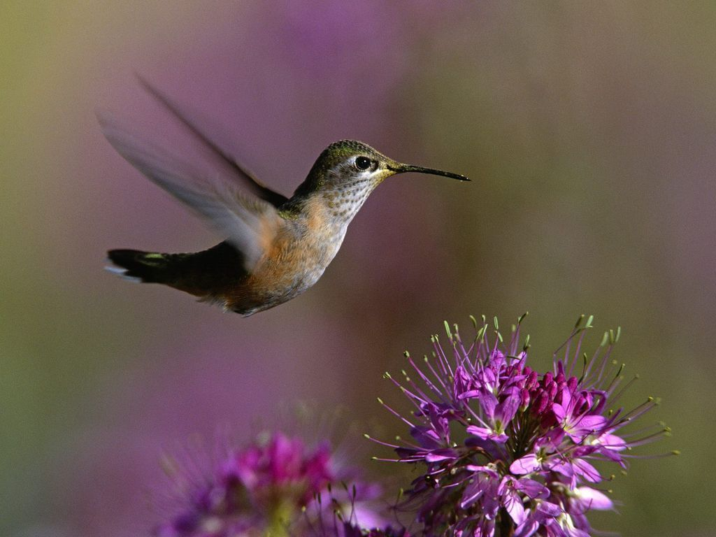 http://2.bp.blogspot.com/-qB1eRtCNVFY/Te5etDx-clI/AAAAAAAAALk/2LKh10laLxw/s1600/Humming-Bird-Wallpaper-hummingbirds-9725028-1024-768.jpg