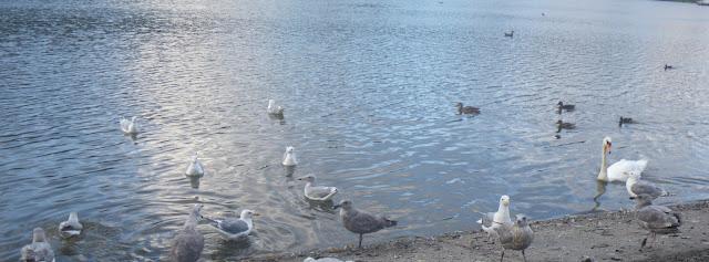 Birds trolling for food