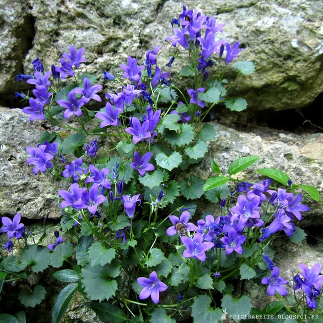 Flower power - Campanule des murs ...