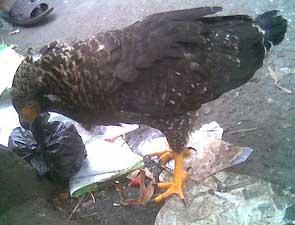 Foto Burung Elang Ular Bido