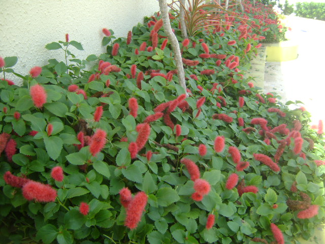 Triunfo  Fazendo Arte em Seu Jardim Plantas Ornamentais Forragem