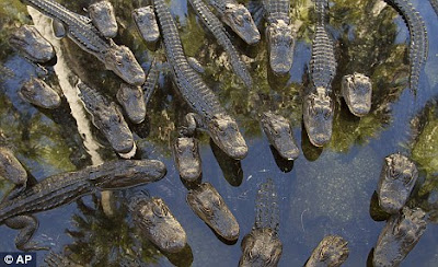 Lemak buaya Alligator mungkin akan ganti petrol