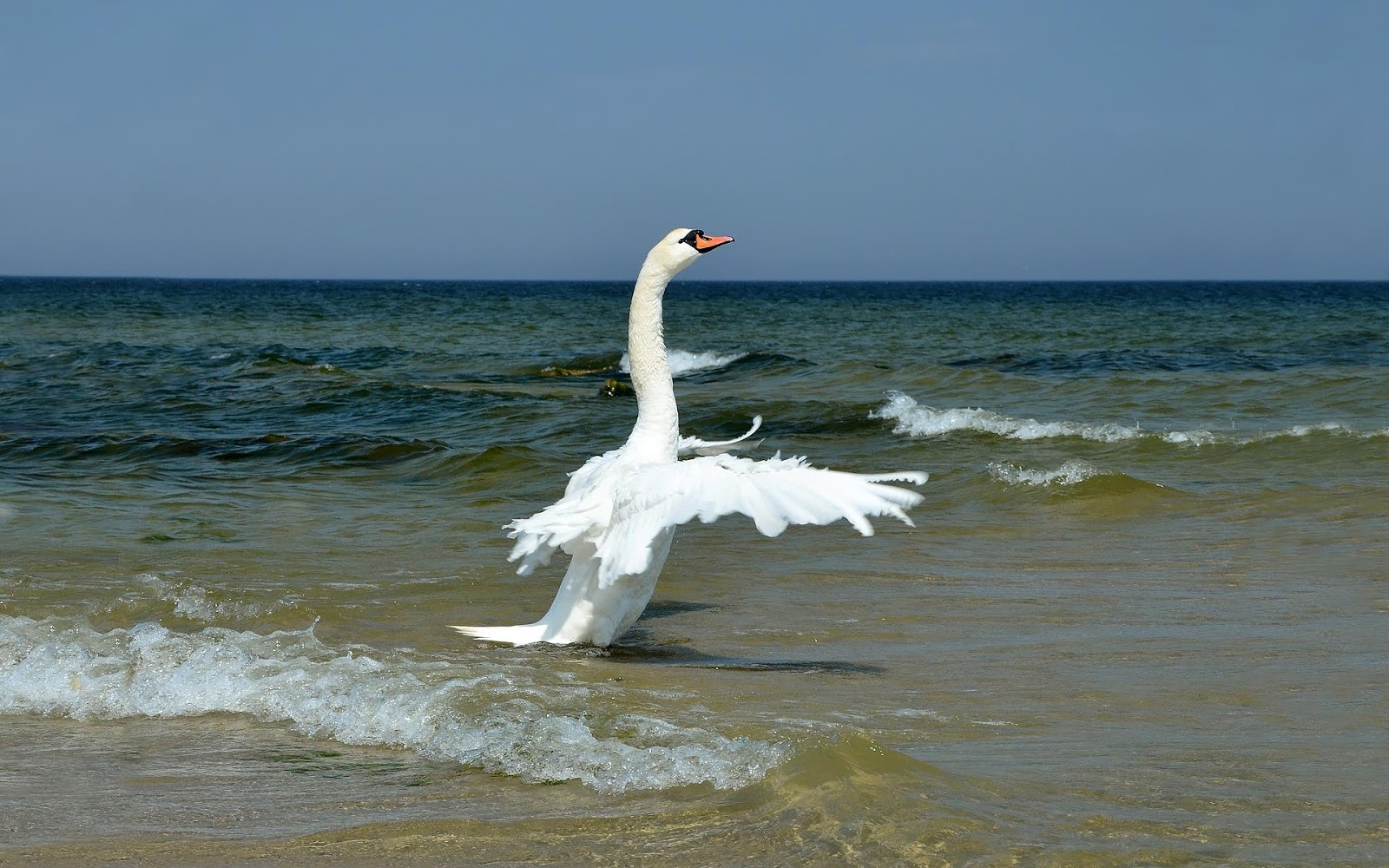 http://2.bp.blogspot.com/-qCRYDHS6Ynw/UNWFNa-WYVI/AAAAAAAAJdA/zIvTPzEh-Io/s1600/hd-animal-wallpaper-of-a-white-swan-flapping-his-wings-at-the-beach-hd-swans-wallpapers.jpg