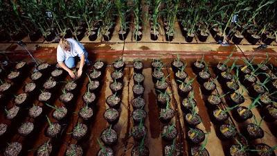 Los OMG causan trastornos intestinales a 18 millones de estadounidenses