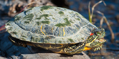 Red-eared Slider, Village Creek Drying Beds