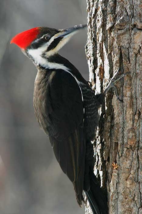 Mengapa burung pelatuk mematuk pohon ?