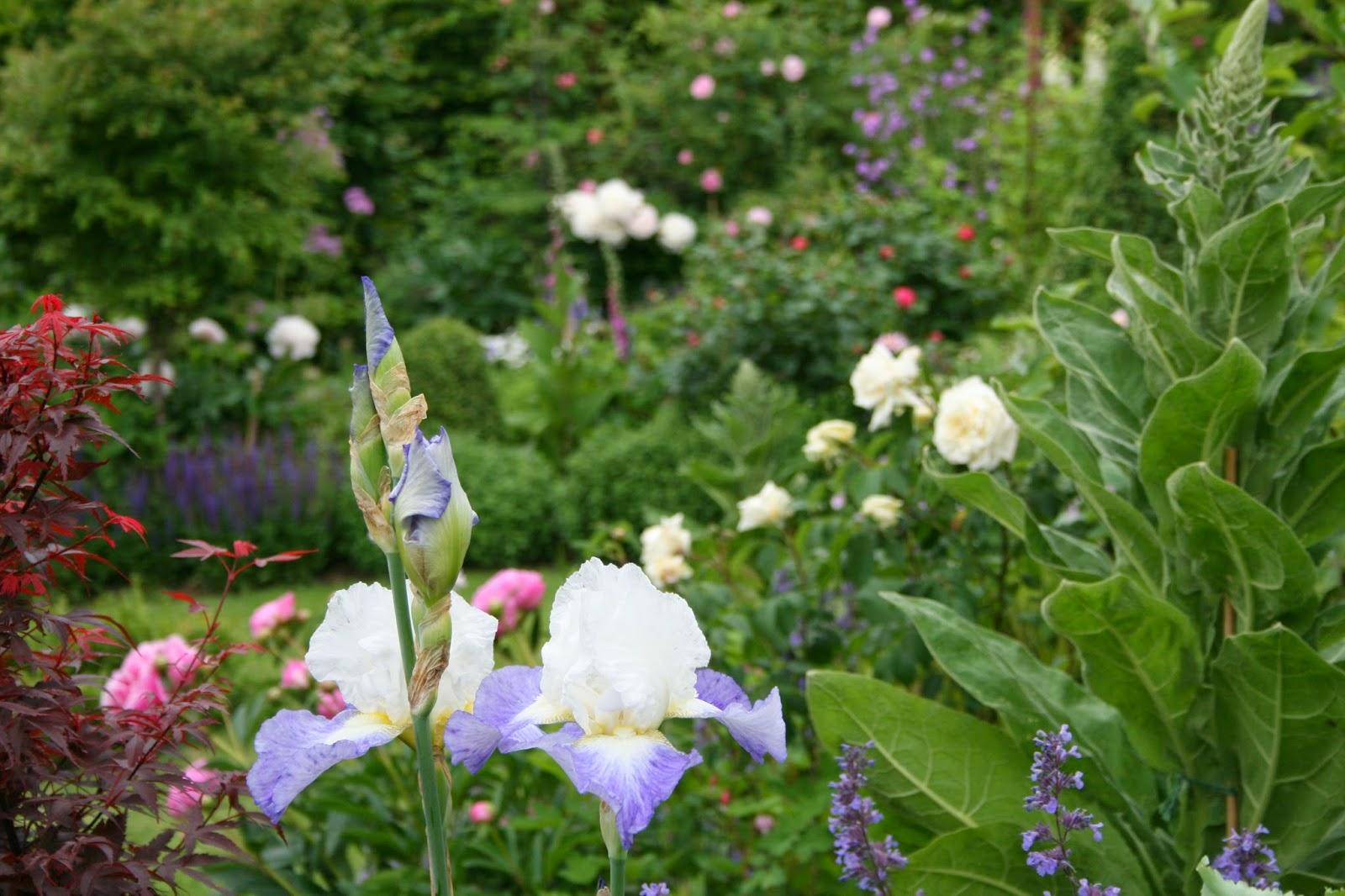 trädgårdsiris iris germanica