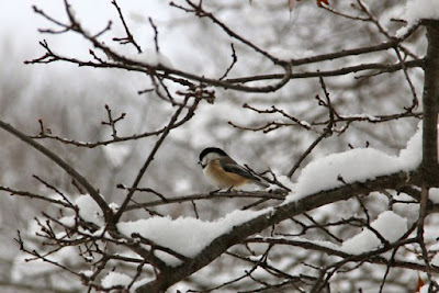 chickadee after a snow storm