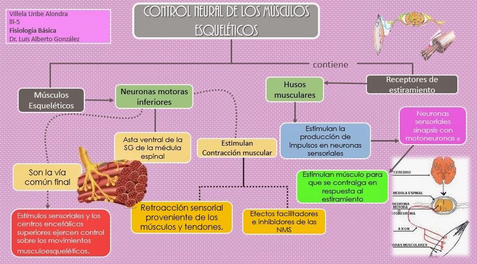 Fisiología Médica de Alondra: Control Neural de los músculos ...