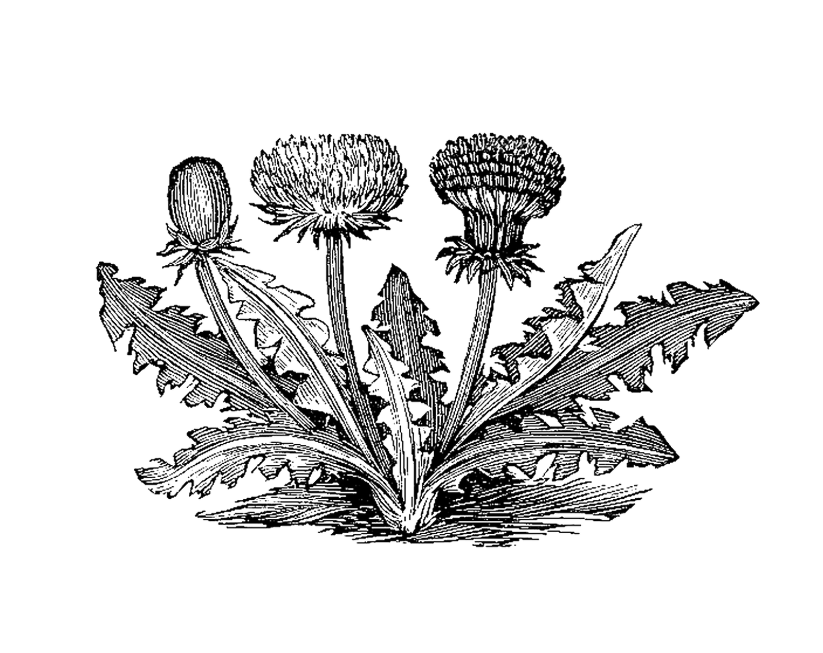 Botanical illustration black and white - photo#2