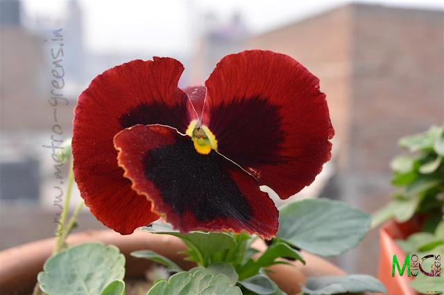 Metro Greens: Maroon Pansy flower