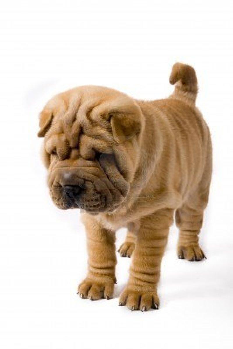 Popular Shar Pei Chubby Adorable Dog - Shar-Pei_Puppy  Best Photo Reference_75959  .jpg