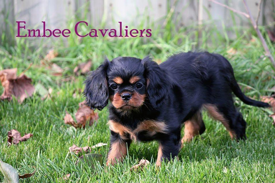 Embee Cavaliers