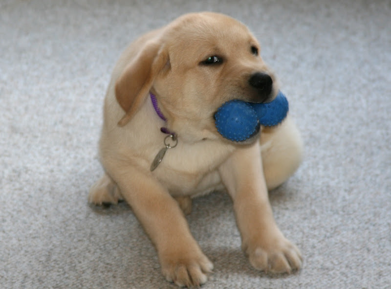 Labrador pup toy