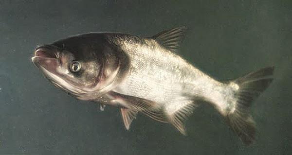 Ikan Mas Bighead