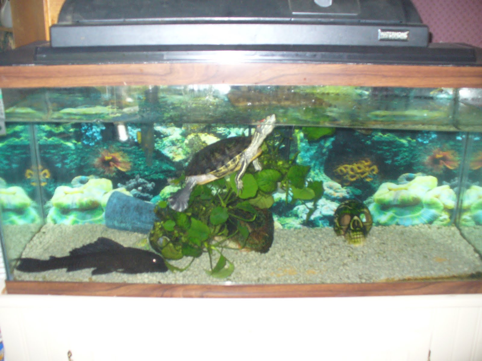 Baby Pet Turtles Tanks Tank for our pet turtle