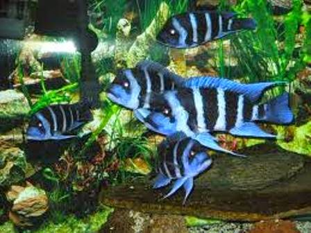 Frontosa Cichlid The Most Popular Freshwater Fish