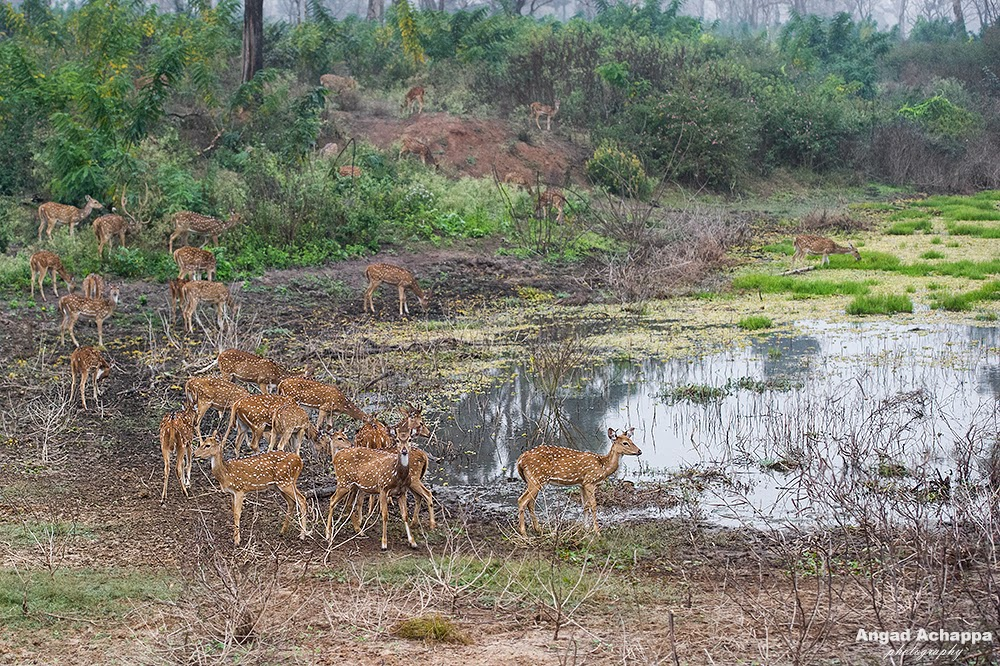 spotted deer, cheetal, chital, axis axis, deer, Bandipur, Bandipur National Park, Karnataka, India, Wildlife Photography, Indian Wildlife, top indian wildlife photographers, top indian photographers
