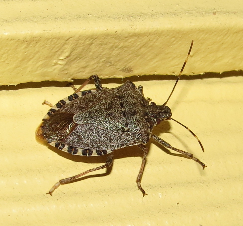 how to get rid of stink bugs outside house