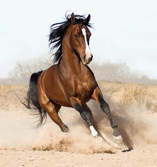 A chestnut horse galloping in the dust